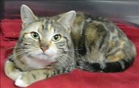 """Young Female Cat - Domestic Short Hair: """"Missy"""""""