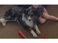 """*****LOST COLLIE DOG CYNCOED** GREY MERLE COLLIE """"BOB"""" PLEASE HELP"""