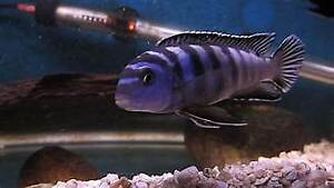 ELONGTUS CHEWERE CICHLIDS ADULTS AND FRY