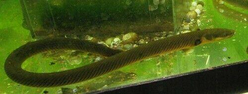 Rope Fish Live Freshwater Aquarium Fish