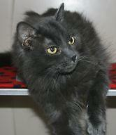 "Adult Female Cat - Domestic Long Hair-gray: ""Jewel"""