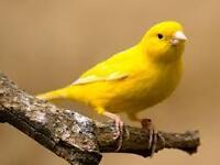 Wanted A Female Canary