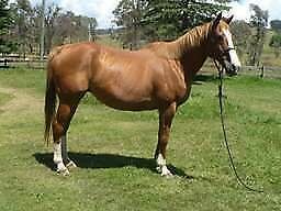 Quiet 17hh ASB TB Mare Ebor Guyra Area Preview