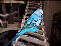 I have few same tame baby budgies for sale