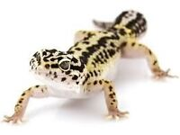 Leopard Gecko Need a New Home