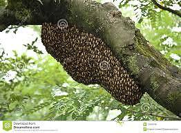 Honey Bee Rescue and Removal - Swarm Rescue Kitchener / Waterloo Kitchener Area image 3