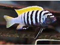 Jalo reef cichlid for sale
