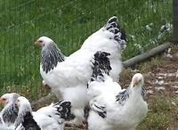 Poules pondeuses / Laying hens