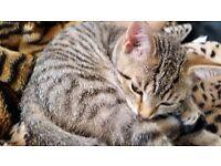 3 monts old kitten