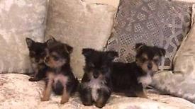 Miniture chorkie pups