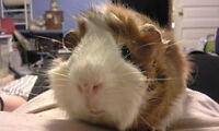 Long hair guinea pig for sale need gone ASAP