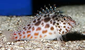 Marine fish for sale - Clown and spotted Hawk - $30 each