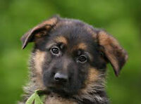 German Shepherd Puppies - Show Line