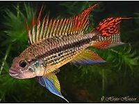 Tropical Fish! Amano Shrimps, Apistogramma Cacatuoides Double Red, Golden Albino Pleco and more.....