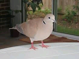 Wanted Doves!