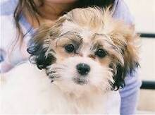 WANTED: SHIHTZU MALTESE KING CHARLES CAVALIER OR POMERANIUM PUPPY Kardinya Melville Area Preview