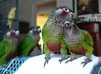 ♥☆.¸¸.•´¯`♥♥☆.¸¸.•´¯`♥Painted Conures♥☆.¸¸.•´¯`♥♥☆.¸¸.•´¯`♥
