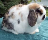 Want to buy a Tri Holland Lop Bunny