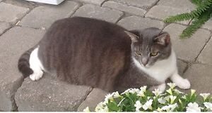 LOST CAT: Grey and White