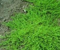 Herniaria-Glabra-500-Seeds