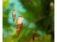 Malaysian trumpet snails