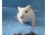 white baby gerbils