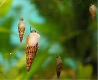 Ramshorn/Malaysian Trumpet Snails