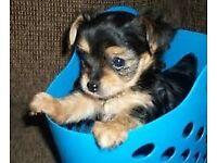 lovely little boy yorkshire terrier
