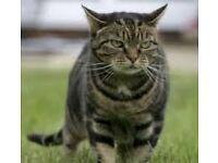 STILL MISSING CAT TABBY CAT MISSING GORDON ROAD-CASTLE ROAD CHATHAM KENT MISSING SINCE JUNE 30TH
