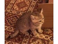 Ready Now Stunning Blue Golden BSH kittens