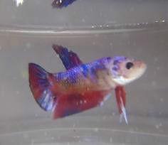 Koi Halfmoon Plakat Betta Fish Windsor Region Ontario image 6