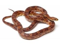 Adult corn snake for rehoming