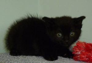 "Baby Male Cat - Bombay-Domestic Short Hair: ""C - 69 Blackie"""