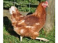 6 Warren Chickens for sale 24 weeks old £40