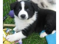 **ROUGH COAT BORDER COLLIE PUPS FOR SALE**