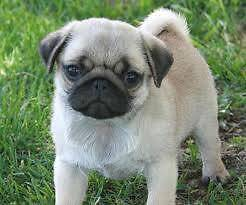 ***WANTED*** PURE BRED MALE FAWN PUG PUPPY Mentone Kingston Area Preview