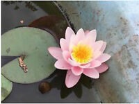 Water Lilly plant
