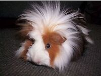 2 female guinea pigs for sale, one white one black, great with kids