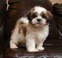 Wanted!! Wanting to buy a puppy!!!! Berwick Casey Area Preview