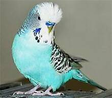 English Budgies For Sale Shepparton 3630 Shepparton City Preview
