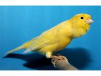 contest roller canaries £30 a pair 4 hens £15 each some flighted