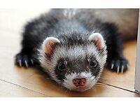 male ferret plus hutch