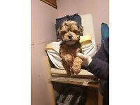 puppies shih tzu x yorkshire terrier