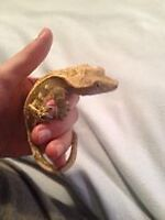AMAZING DEAL !  CRESTED GECKO with Entire Set Up  $ 140