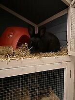 Black Small Rabbit