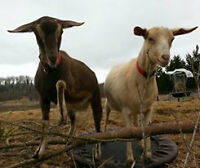 Pet Goats for sale..loving family home only!