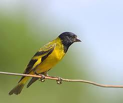 Yellow siskins St Albans Brimbank Area Preview