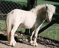 Miniature Horse Stallion Yarraman Toowoomba Surrounds Preview