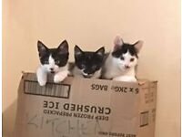 3 BLACK AND WHTE KITTENS