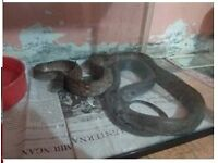 Snake for sale - free to good and trustworthy home